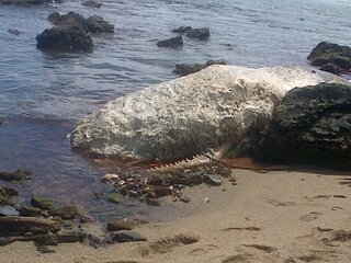 WHALE FOUND ON TOCO BEACH